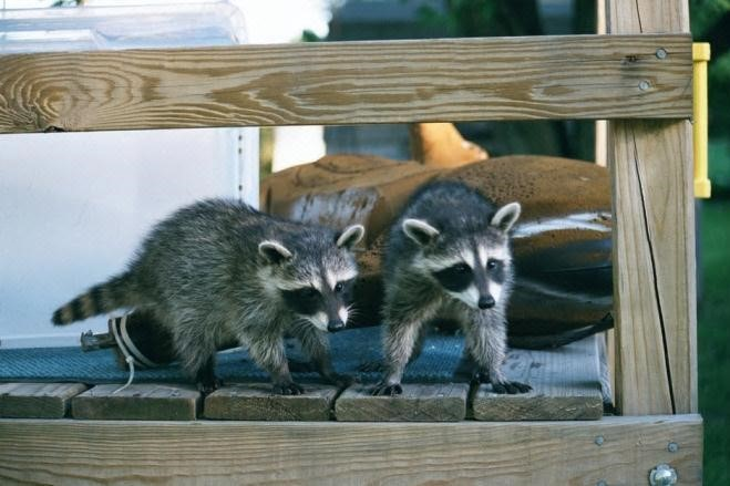 A difference exists between raccoons living as a nuisance in a home and raccoons passing through a backyard. Photo by Steve Stronk.