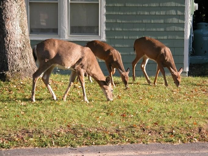 Numbers of white-tailed deer are on the rise due to changes in human behavior and landscapes. Photo by Paul D. Curtis.