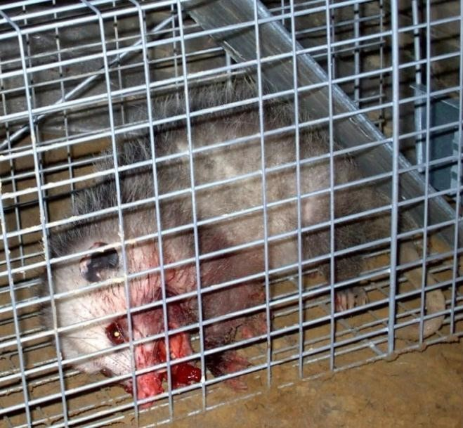 7_6_Opossum_Poisoned_by_Anticoagulants
