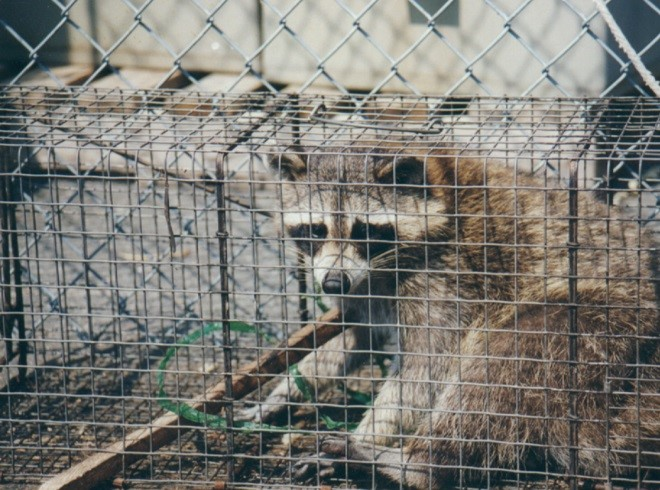 8_4_Raccoon_Pulled_Cord_and_Wood_Into_Trap