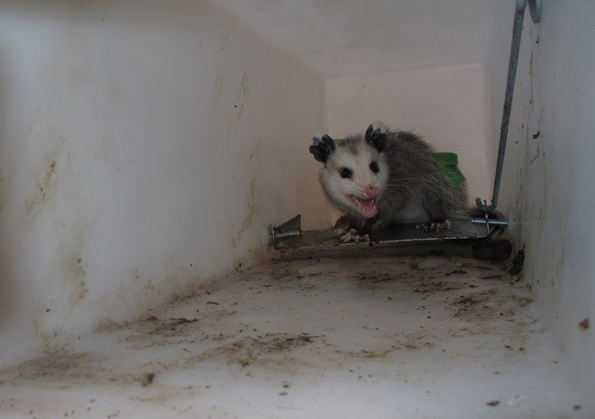 9_2_Juvenile_Opossum
