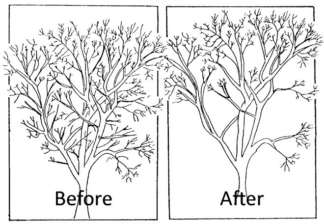 Figure 8. Prune branches to help reduce attractiveness of trees to birds. Image by Prevention and Control of Wildlife Damage (PCWD).