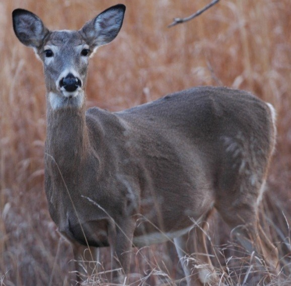 Figure 1. Female white-tailed deer (Odocoileus virginianus). Photo by Greg Clements.
