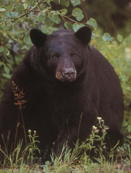 Figure 1. Black bear (Ursus americanus) Photo by Scott E. Hygnstrom.