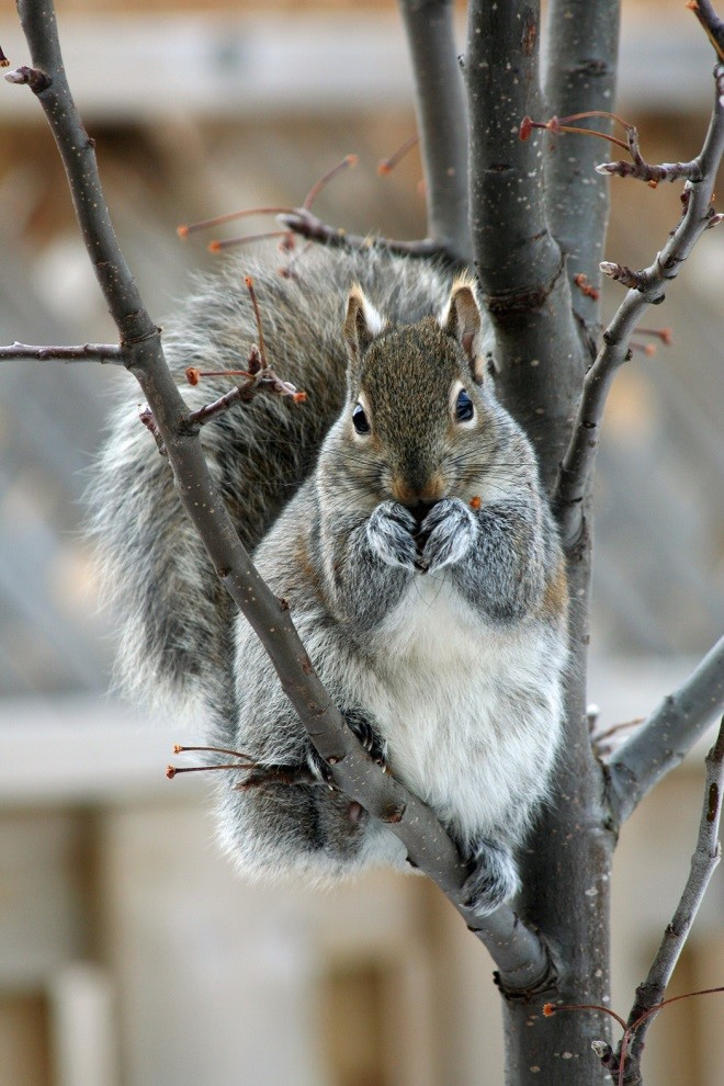 Figure 1 Eastern Gray Squirrel.