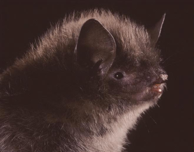 Figure 1. Little brown bat (Myotis lucifugus). Photo by Bat Conservation International (BCI).