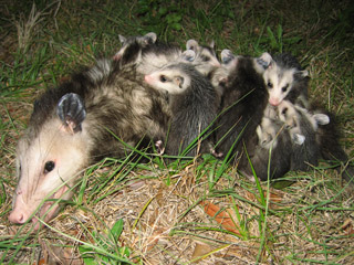 Fig 1 Opossum with young