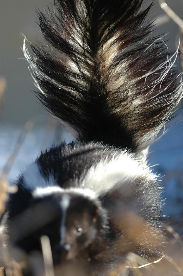 Figure 1. Eastern striped skunk (Mephitis mephitis). Photo by Greg Clements.