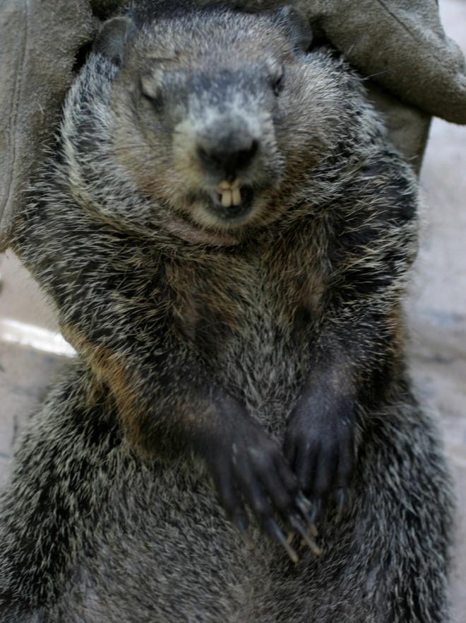 Figure1. Woodchuck (Marmota monax) in a tree. Photo by Bamyers99.