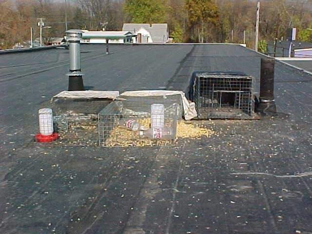 Figure 13. Pigeon traps. Photo by Stephen M. Vantassel.