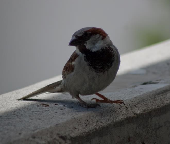 Figure 1. Male house sparrow (Passer domesticus). Photo by Stephen M. Vantassel.