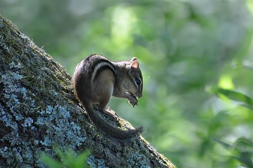Figure 1. Eastern chipmunk (Tamias striatus). Photo by Tom Tetzner, US Fish and Wildlife Service (USFWS).