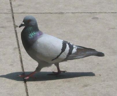 Figure 3. Pigeon (Columba livia). Photo by Erin Bauer.