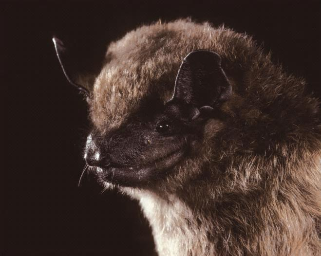 Figure 2. Big brown bat (Eptesicus fuscus). Photo by BCI.