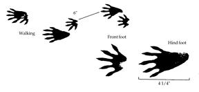"Figure 2. Five long rear toes and ""hand-like"" front prints are characteristic of raccoon tracks. Image by Prevention and Control of Wildlife Damage (PCWD)."