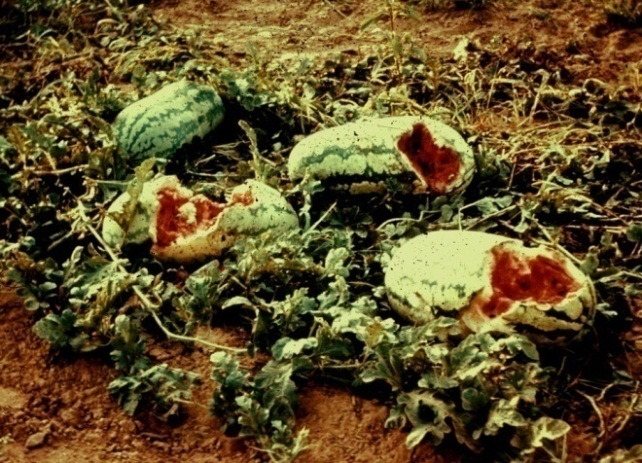 Figure 3. Coyotes eat watermelon. Photo by the University of Nebraska-Lincoln (UNL).
