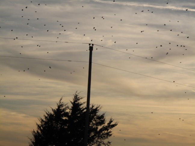 Figure 2. Crows flying to night roosting site. Photo by Stephen M. Vantassel.