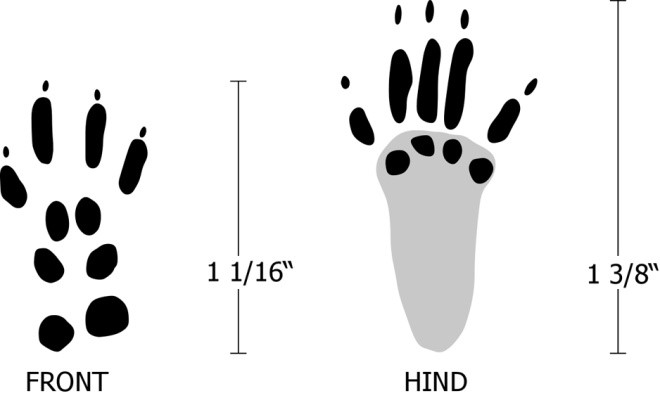 Figure 4. Tracks of a red squirrel. They are similar in structure to gray and fox squirrels.  Image by Dee Ebbeka.