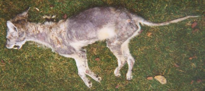 Figure 2. Coyote with mange. Note the substantial loss of hair. Photo by John Consolini.