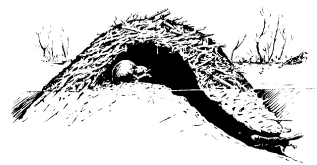 Figure 2. Cross-section of a beaver lodge. Image by Prevention and Control of Wildlife Damage (PCWD).