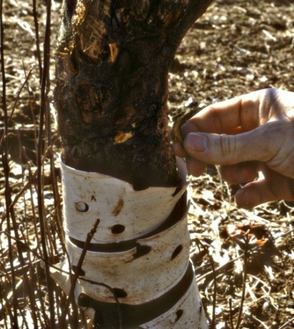 Figure 4. Damage to a fruit tree by woodchucks. Photo by Robert K. Swihart.