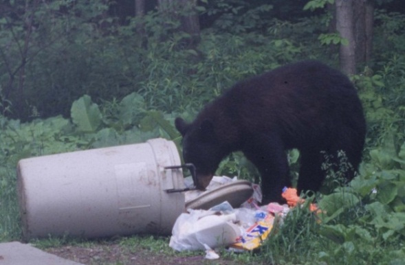 Figure 2. Black bear feeding on trash. Image provided by Gary R. Goff.