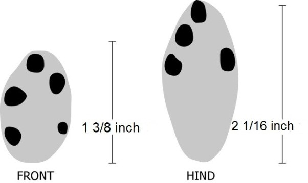 Figure 4. Tracks of an eastern cottontail rabbit. Image by Dee Ebbeka.