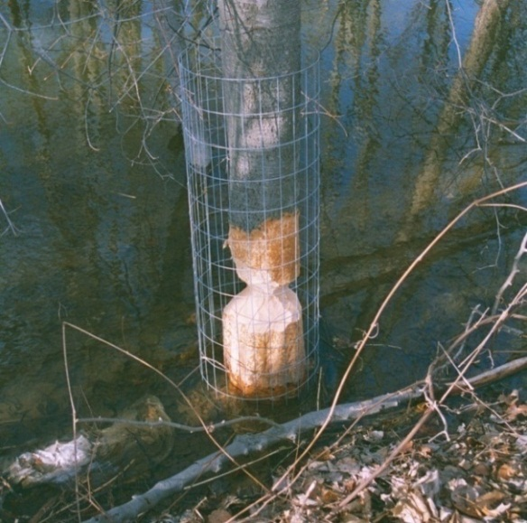 Figure 3. This fence would have worked if it was installed before beavers damaged the tree. Photo by Stephen M. Vantassel.