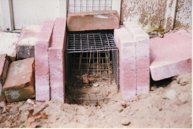 Figure 5. One-way door over the entrance to a den of a skunk. The thin vertical sticks in the back will be knocked over if an animal moves through. Photo by Stephen M. Vantassel.