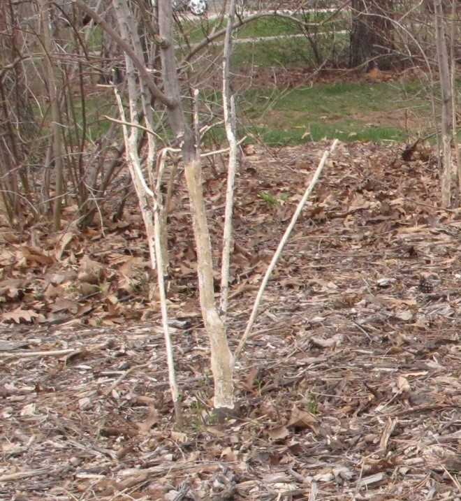 Figure 3. Unprotected trees can be severely girdled by rabbits. Photo by Stephen M. Vantassel.
