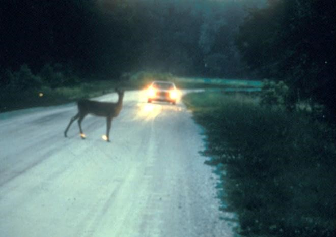 Figure 2. Deer-vehicle collisions constitute a significant threat to human safety. Photo by Paul D. Curtis.