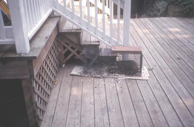 Figure 8. A cage trap with a captured raccoon. Photo by Stephen M. Vantassel.