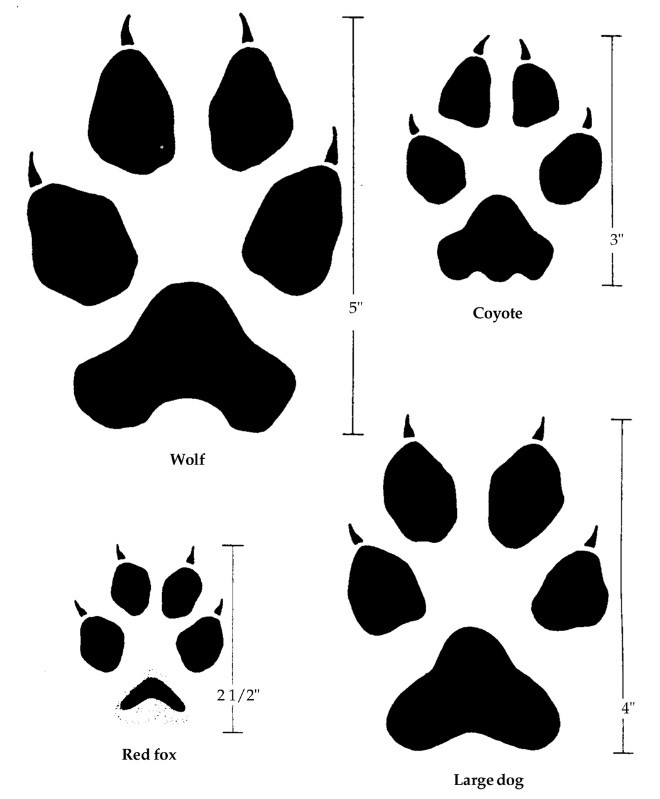 Figure 4. Footprints of canine predators. Image by Prevention and Control of Wildlife Damage (PCWD).