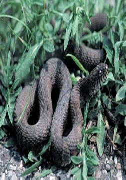 Figure 1. Northern water snake (Nerodia sipedon). Photo by Jack H. Hecht/LMS Engineers.