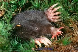 starnosed mole photo 3