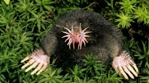 Figure 1. Star-nosed mole (Condylura cristata). Photo by unknown.